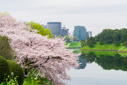 Cherry Blossom「Cherry blossom trees at Imperial Palace Moat.」:スマホ壁紙(6)