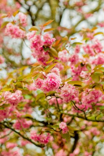 Keukenhof Gardens「Cherry blossom tree branch」:スマホ壁紙(4)