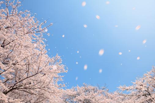 桜「Cherry blossoms, Tokyo Prefecture, Honshu, Japan」:スマホ壁紙(4)