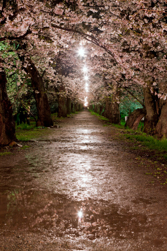 夜桜「Cherry blossoms at night, Akita Prefecture, Honshu, Japan」:スマホ壁紙(0)