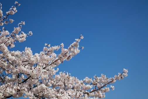 Cherry Blossom「Cherry blossoms, Kyoto Prefecture, Honshu, Japan」:スマホ壁紙(15)