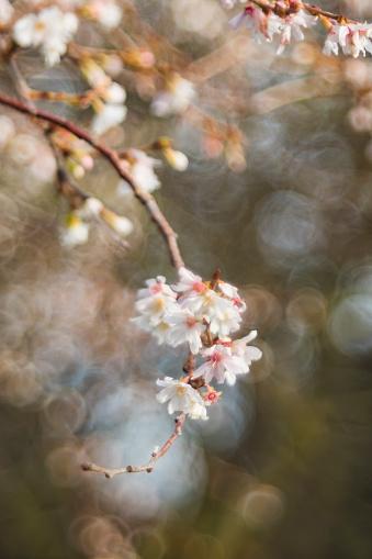 Oriental Cherry Tree「Cherry Blossom in spring」:スマホ壁紙(9)