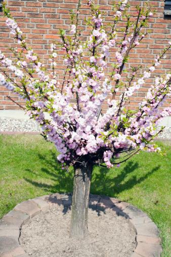 Oriental Cherry Tree「Cherry blossom in spring」:スマホ壁紙(18)