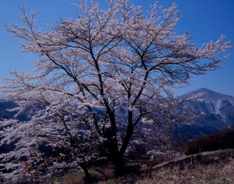Cherry Blossom「Cherry Blossoms and Mount Hinata, Yokoze, Saitama, Japan」:スマホ壁紙(3)