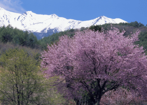 Cherry Blossom「Cherry Blossoms and Mountain」:スマホ壁紙(13)