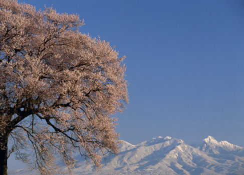 Cherry Blossom「Cherry Blossoms and Mountain」:スマホ壁紙(17)
