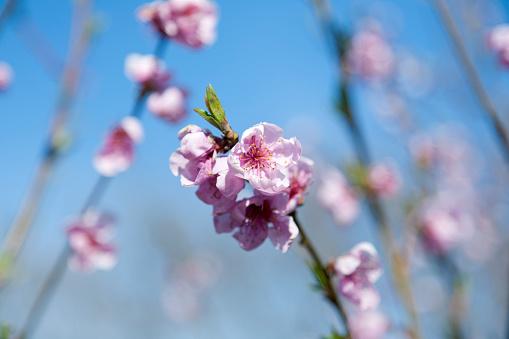 Cherry Blossom「Cherry Blossoms」:スマホ壁紙(19)