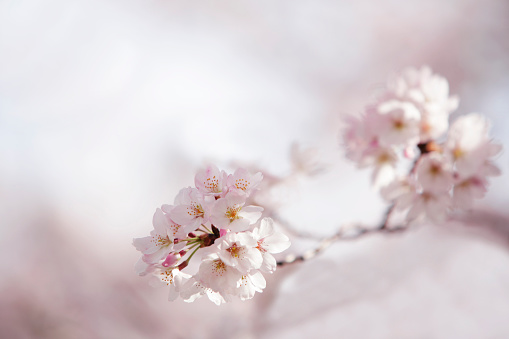桜「Cherry blossoms」:スマホ壁紙(18)