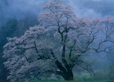桜「Cherry Blossoms, Achi, Shimoina, Nagano, Japan」:スマホ壁紙(7)