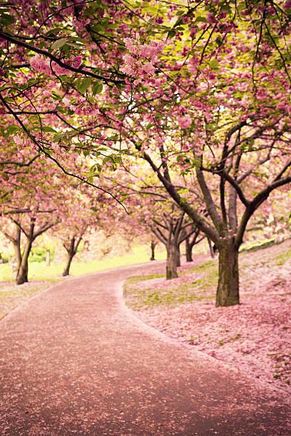 Cherry blossom in Newyork:スマホ壁紙(壁紙.com)