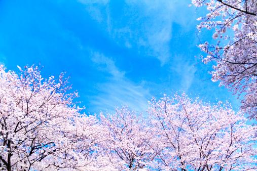 桜「Cherry blossoms, Kanagawa Prefecture, Honshu, Japan」:スマホ壁紙(19)