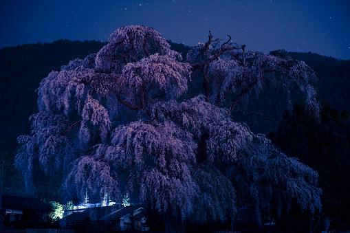 夜桜「Cherry Blossoms at Night」:スマホ壁紙(9)
