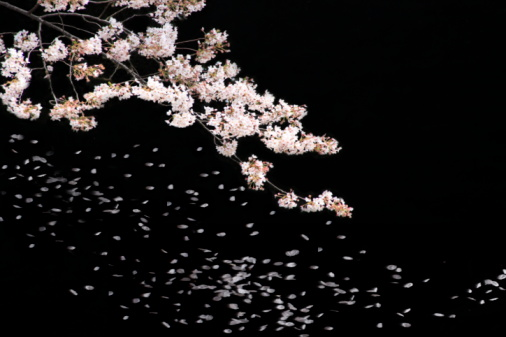 Cherry Blossom「Cherry blossoms at night」:スマホ壁紙(8)