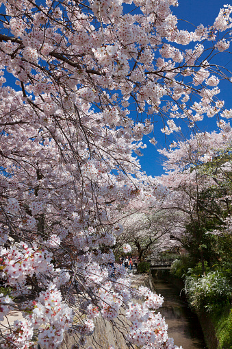 桜「Cherry Blossom trees at Philosopher's Walk」:スマホ壁紙(17)