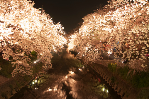 夜桜「Cherry Blossom Trees at Gogo River」:スマホ壁紙(6)