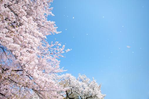桜「Cherry blossoms」:スマホ壁紙(11)