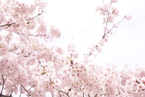 桜「Cherry blossoms」:スマホ壁紙(2)