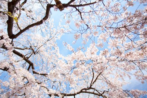 Cherry Blossom「Cherry blossoms」:スマホ壁紙(7)