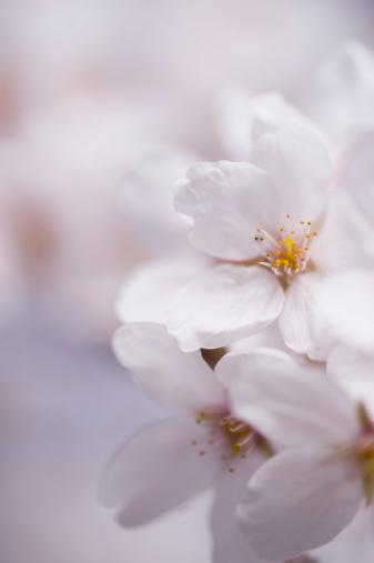 桜「Cherry blossoms」:スマホ壁紙(1)
