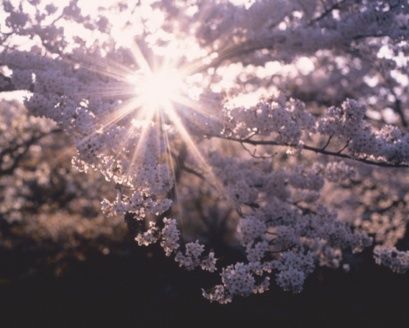Cherry Blossom「Cherry Blossom」:スマホ壁紙(1)