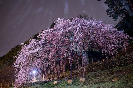 夜桜「Cherry Blossoms at Rainy Night」:スマホ壁紙(17)
