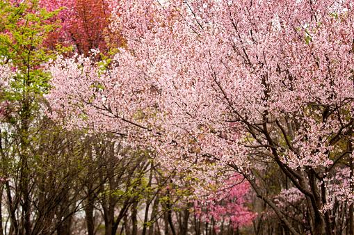 桜「Cherry Blossom. Forest with Blooming Cherry Trees」:スマホ壁紙(4)