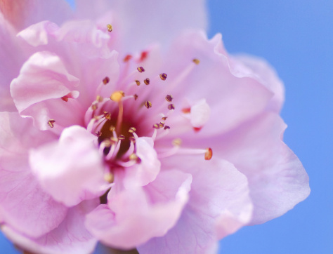 Cherry Blossom「Cherry blossom, close-up」:スマホ壁紙(9)