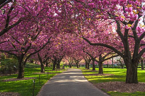 Deciduous tree「Cherry Blossom」:スマホ壁紙(8)