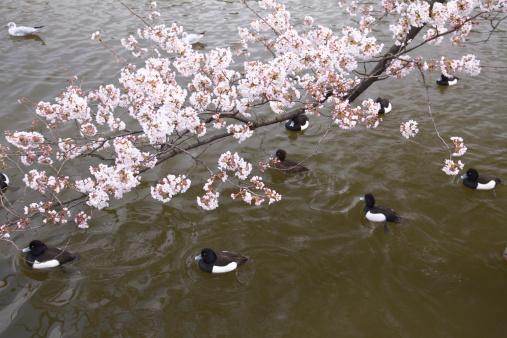 桜「Cherry blossoms and Shinobazu pond, Ueno, Taito Ward, Tokyo, Honshu, Japan」:スマホ壁紙(19)