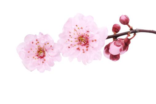 Cherry Blossom「桜の絶縁」:スマホ壁紙(8)