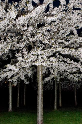 夜桜「Cherry blossom by night」:スマホ壁紙(2)