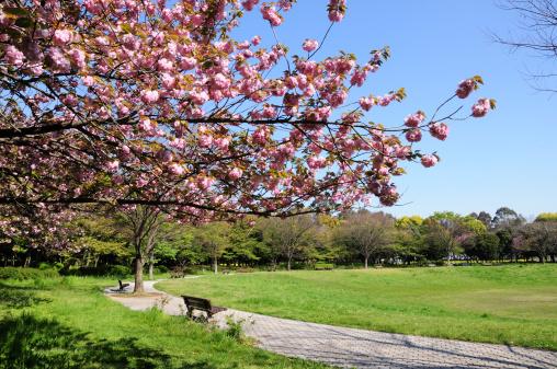 桜「Cherry Blossom Tree in Yumenoshima Park」:スマホ壁紙(12)