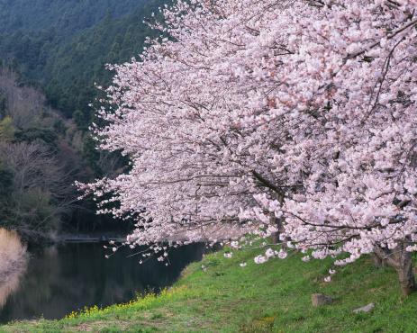 桜「Cherry blossom trees in Shizuoka, Japan」:スマホ壁紙(11)