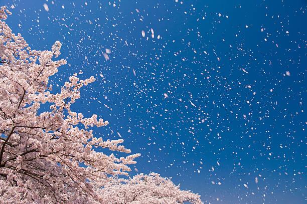 Cherry blossoms and sky:スマホ壁紙(壁紙.com)