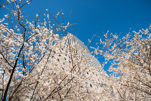 桜「Cherry blossoms at front of World Financial Center at Lower Manhattan New York City.」:スマホ壁紙(3)