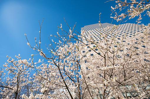 桜「Cherry blossoms at front of World Financial Center at Lower Manhattan New York City.」:スマホ壁紙(17)