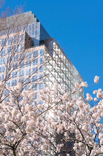 桜「Cherry blossoms at front of World Financial Center at Lower Manhattan New York City.」:スマホ壁紙(18)