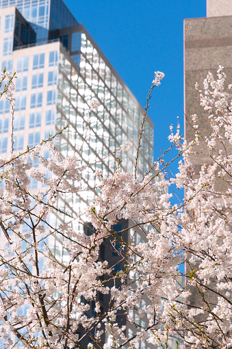 桜「Cherry blossoms at front of World Financial Center at Lower Manhattan New York City.」:スマホ壁紙(2)