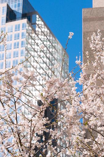 桜「Cherry blossoms at front of World Financial Center at Lower Manhattan New York City.」:スマホ壁紙(6)