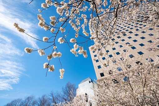 桜「Cherry blossoms at front of World Financial Center at Lower Manhattan New York City.」:スマホ壁紙(1)