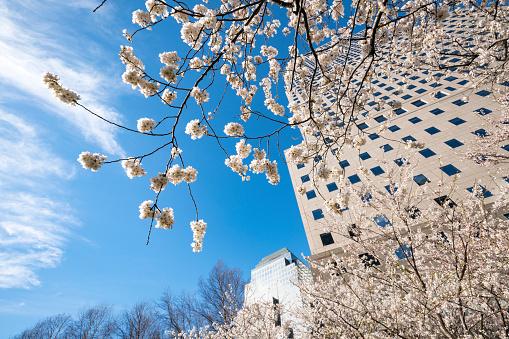 桜「Cherry blossoms at front of World Financial Center at Lower Manhattan New York City.」:スマホ壁紙(5)