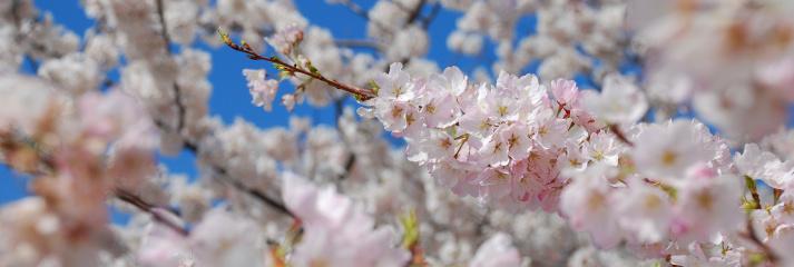 Cherry Blossom「桜のパノラマに広がる」:スマホ壁紙(11)