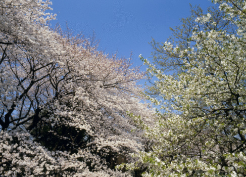 Cherry Blossom「Cherry Blossoms and Blue Sky」:スマホ壁紙(11)