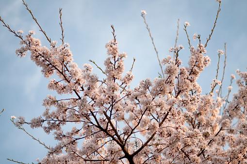 ソメイヨシノ「Cherry Blossom」:スマホ壁紙(12)