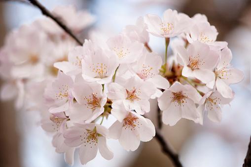 Oriental Cherry Tree「Cherry Blossom」:スマホ壁紙(17)