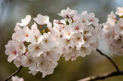 Oriental Cherry Tree「Cherry Blossom」:スマホ壁紙(16)