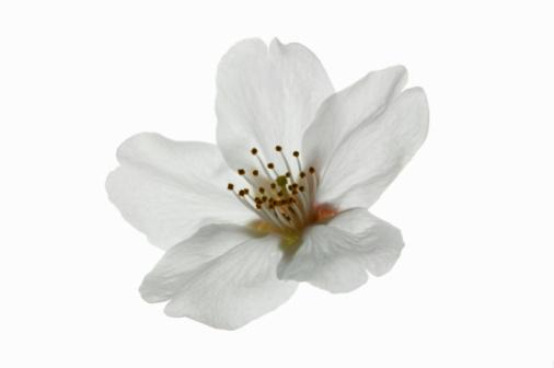 桜「Cherry blossom」:スマホ壁紙(13)