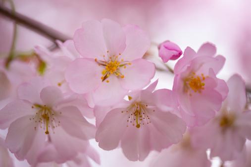 グルノーブル「桜の花」:スマホ壁紙(16)