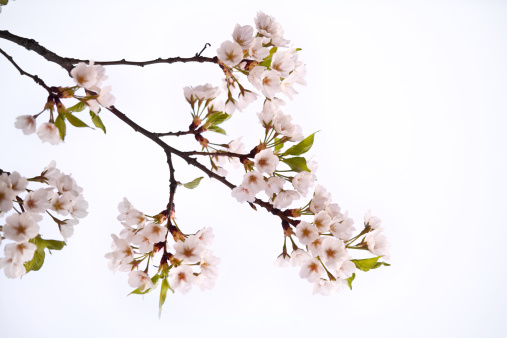 花びら「桜の花」:スマホ壁紙(8)