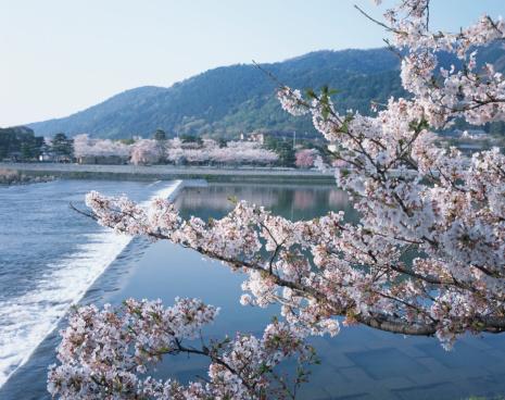 Arashiyama「Cherry Blossom Tree and River in the Background」:スマホ壁紙(19)